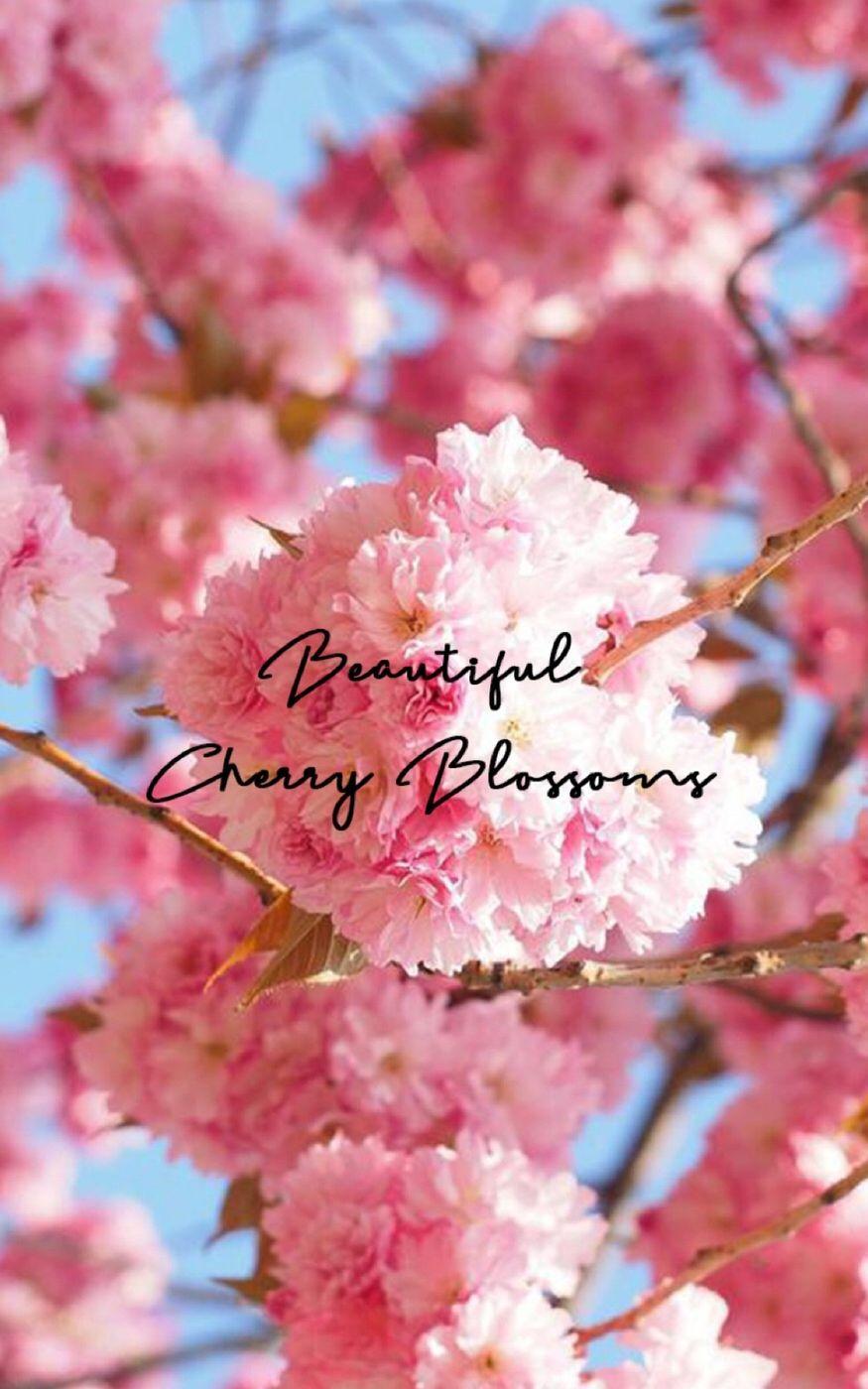 Beautiful Cherry 🍒 Blossoms