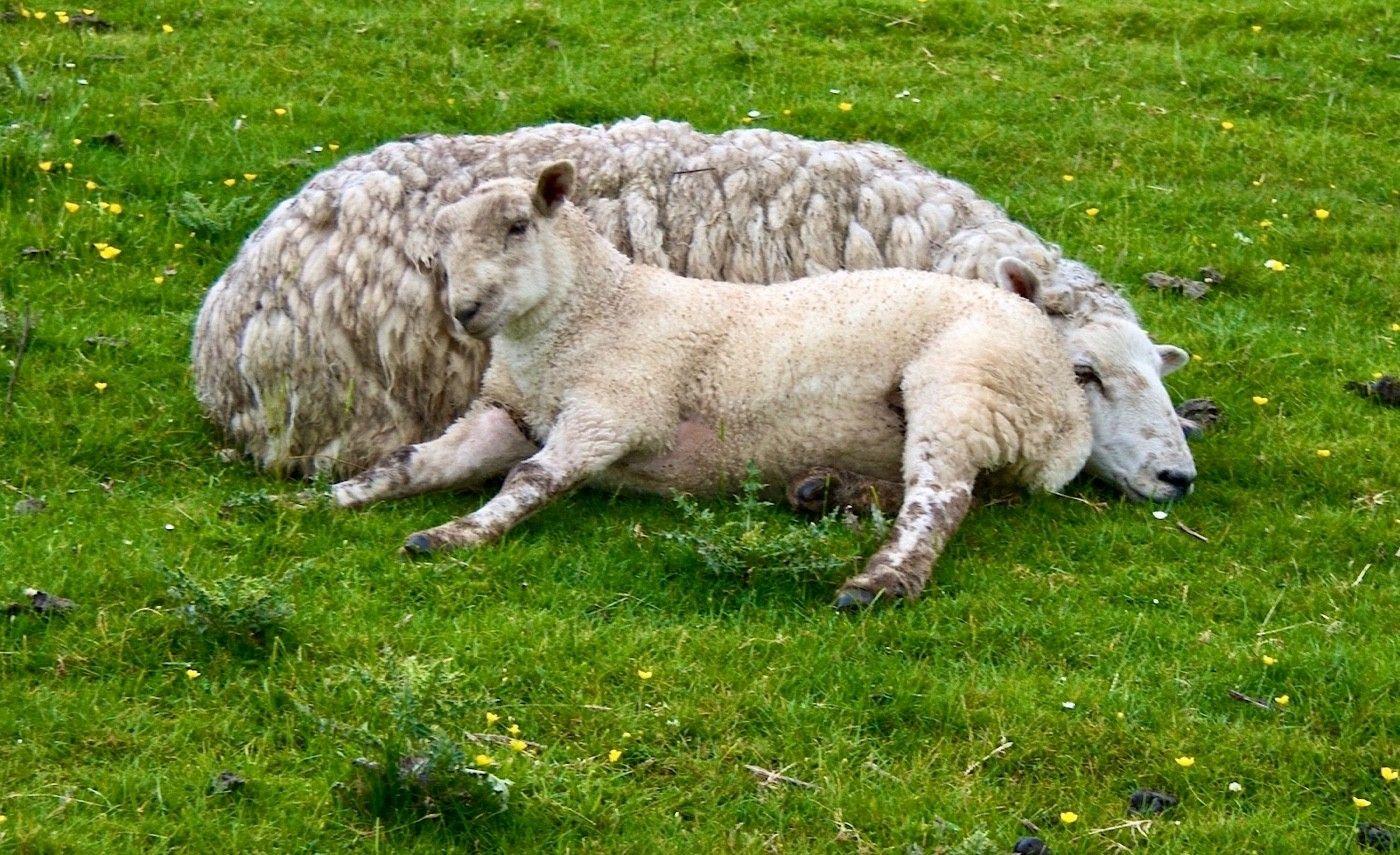 England has lots of sheep!