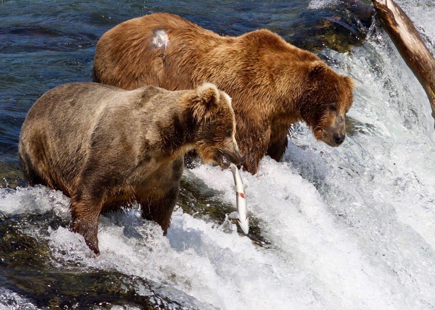 Brown bears fish at the falls.