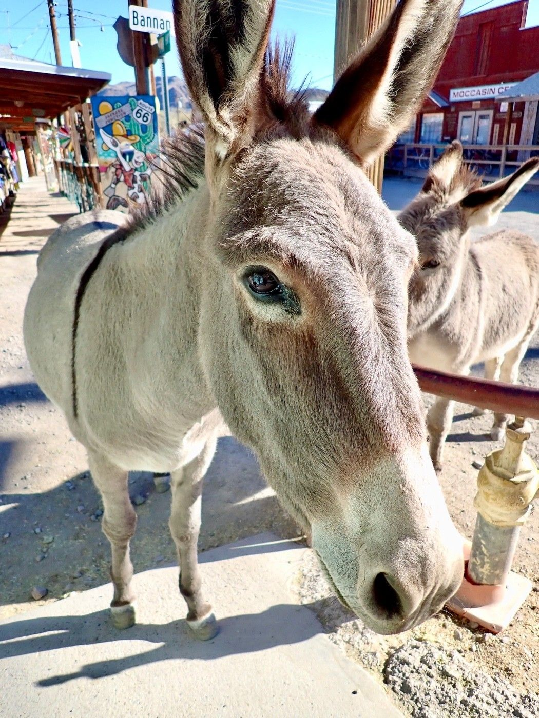Burros, left over from gold mining days, wander on Rt. 66 in Oatman.